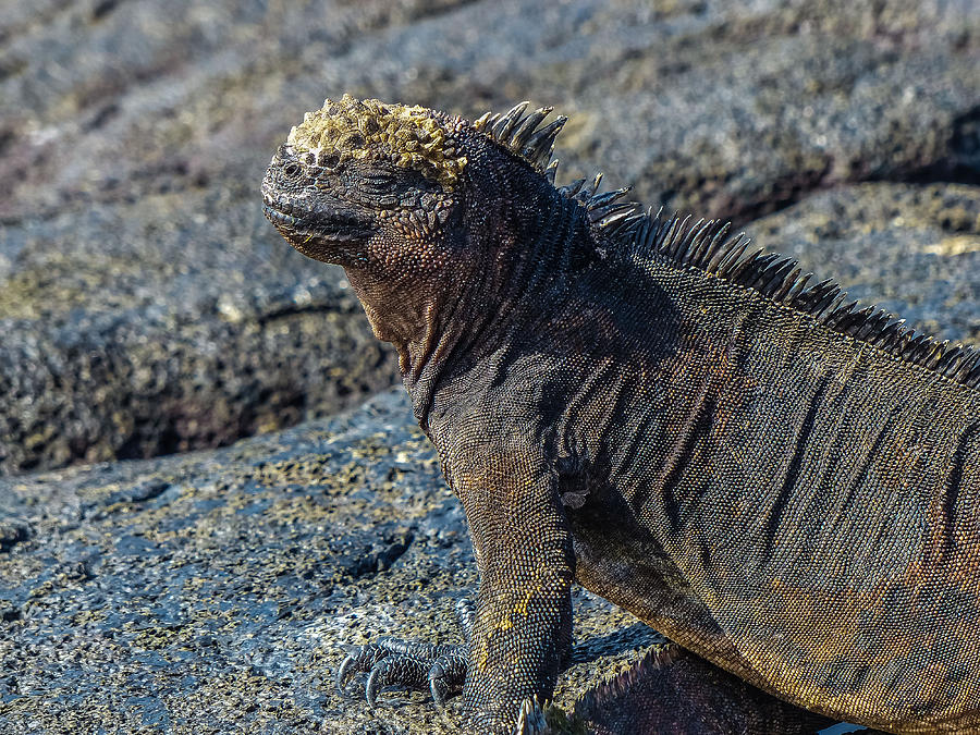 Galapagos Photograph - Santiago Marine Iguana by Harry Strharsky