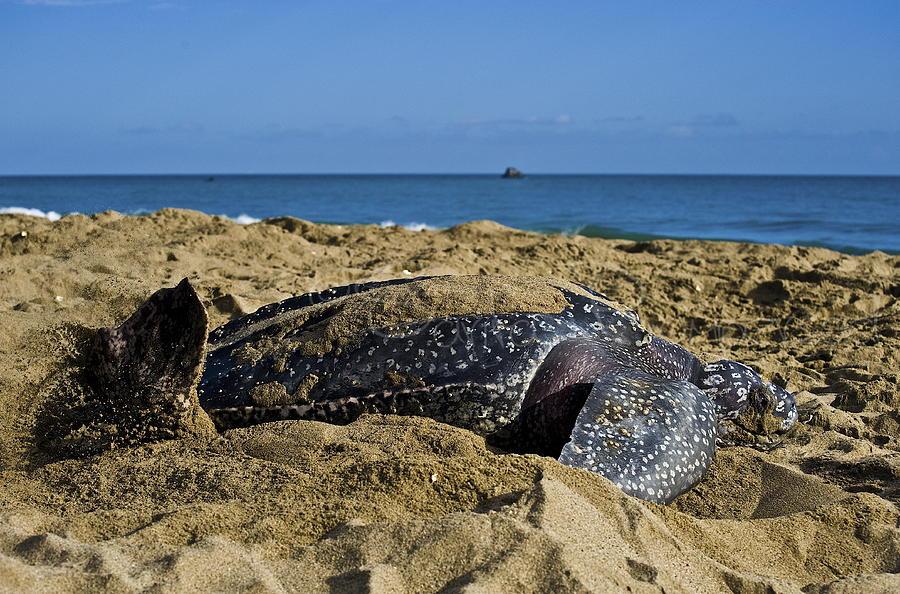 Leatherback Turtle Photograph - Saying Goodbye by Sarita Rampersad