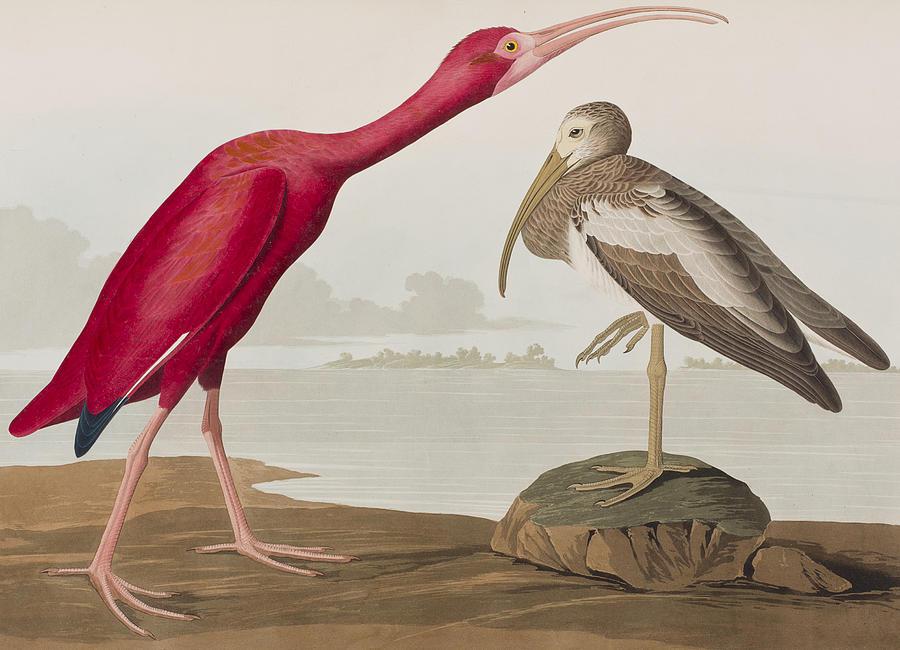 Scarlet Ibis Painting - Scarlet Ibis by John James Audubon