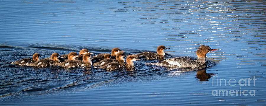 Ducks Photograph - Schools In Session by Webb Canepa