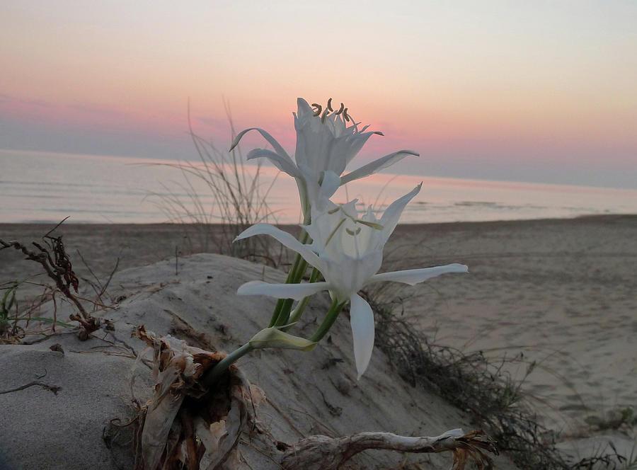 Flowers Photograph - Summer Sea Lilies by Rayne Van Sing