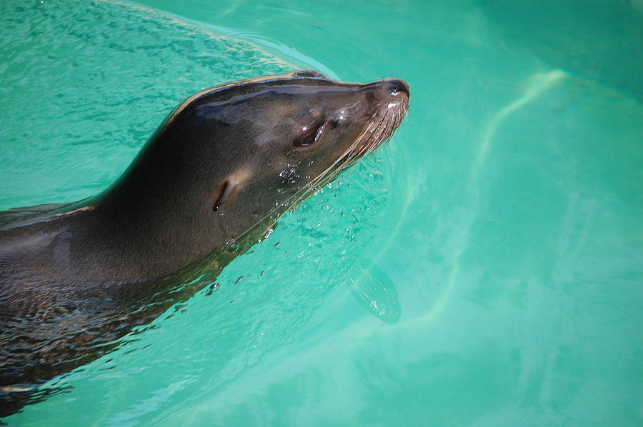 Animal Photograph - Sea Lion  by Kelly Kinder