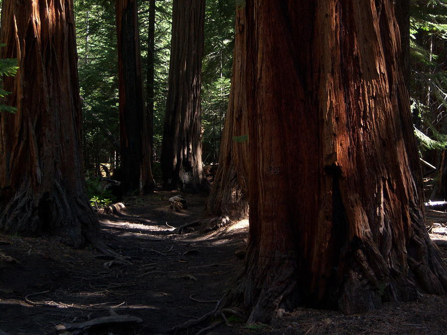 Sequoias Photograph - Sequoias On Half Dome Trail by Bransen Devey