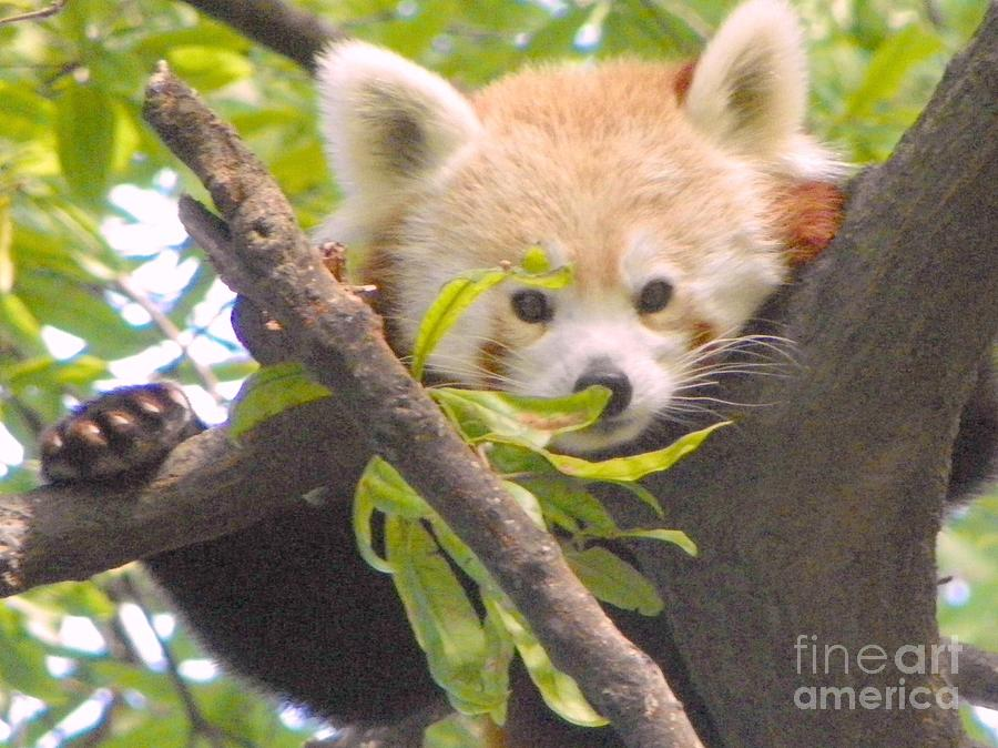 Shy Red Panda Photograph by Shirley Moravec