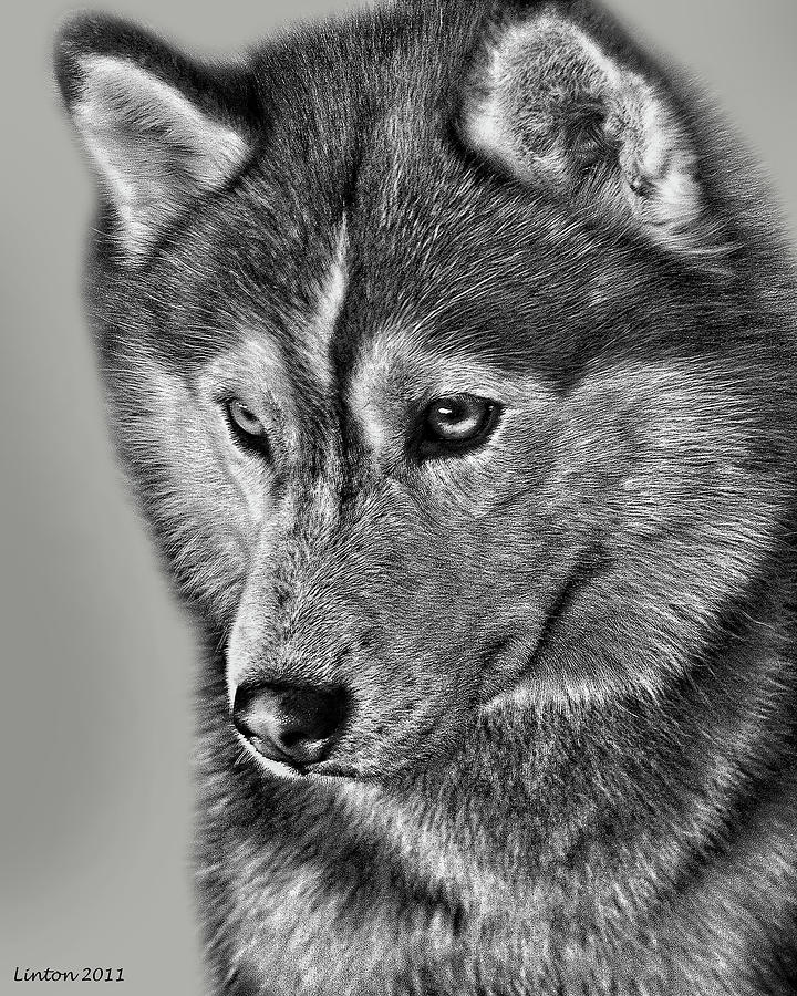 Siberian Husky Digital Art - Siberian Husky 2 by Larry Linton