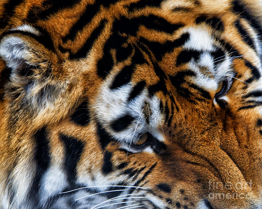 Siberia Photograph - Siberian Tiger by White Stork Gallery