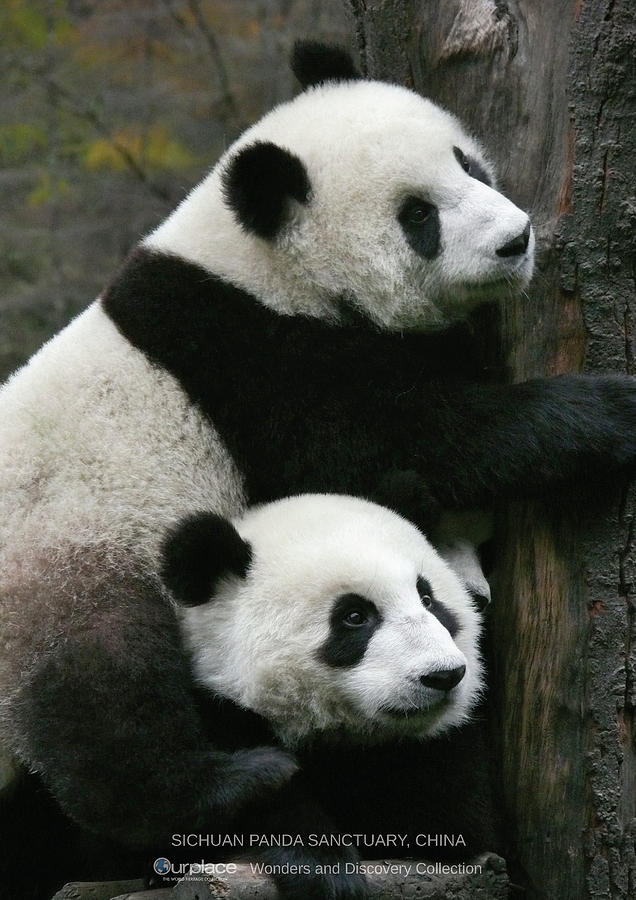 Conservation Photograph - Sichuan Giant Panda Sanctuary, China by Koru Inc