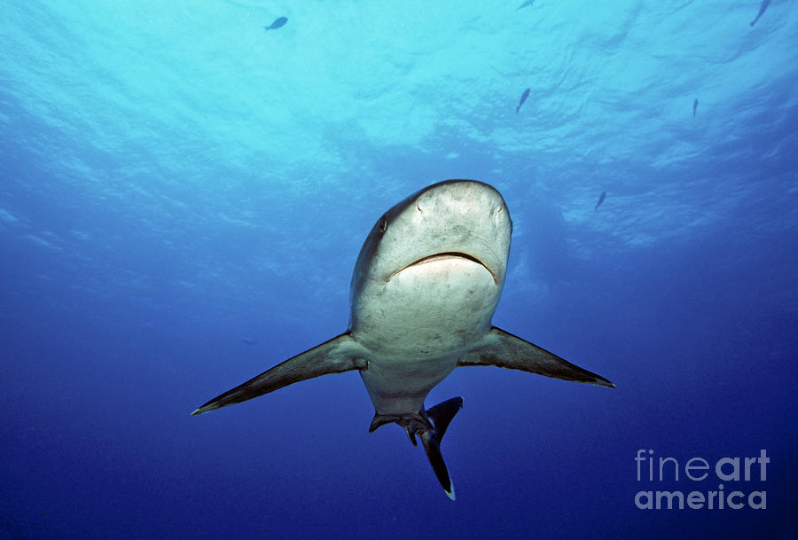 Bank Photograph - Silvertip Shark by Dave Fleetham - Printscapes
