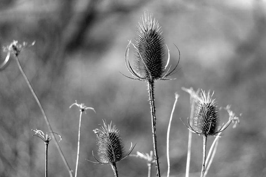 Simply Thistle by Rick Morgan