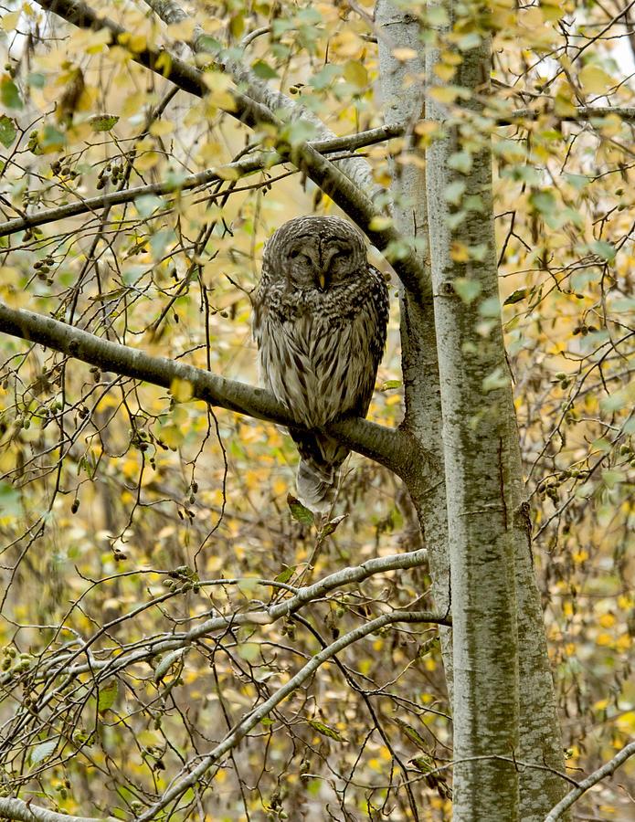 Owl Photograph - Sleeping Owl by Vern Minard