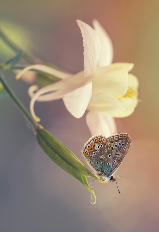 Columbine Photograph - Small Butterfly On Creamy Columbine Flower by Jaroslaw Blaminsky