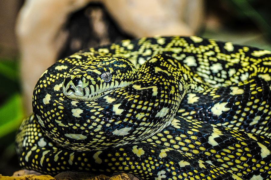 Snake Digital Art - Snake by Dorothy Binder