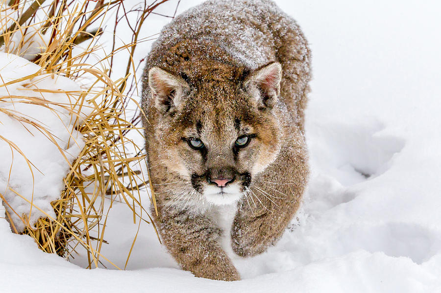 Nature Photograph - Sneaky Cougar by Mike Centioli