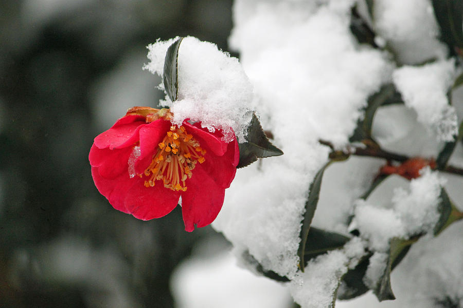 Camellia Photograph - Snow Bloom by Suzanne Gaff