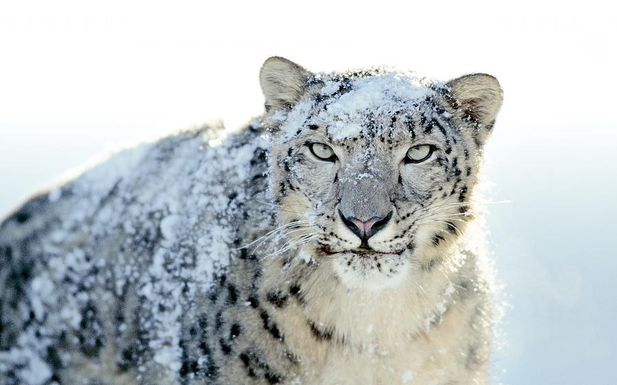Snow Leopard Digital Art - Snow Leopard by Dorothy Binder