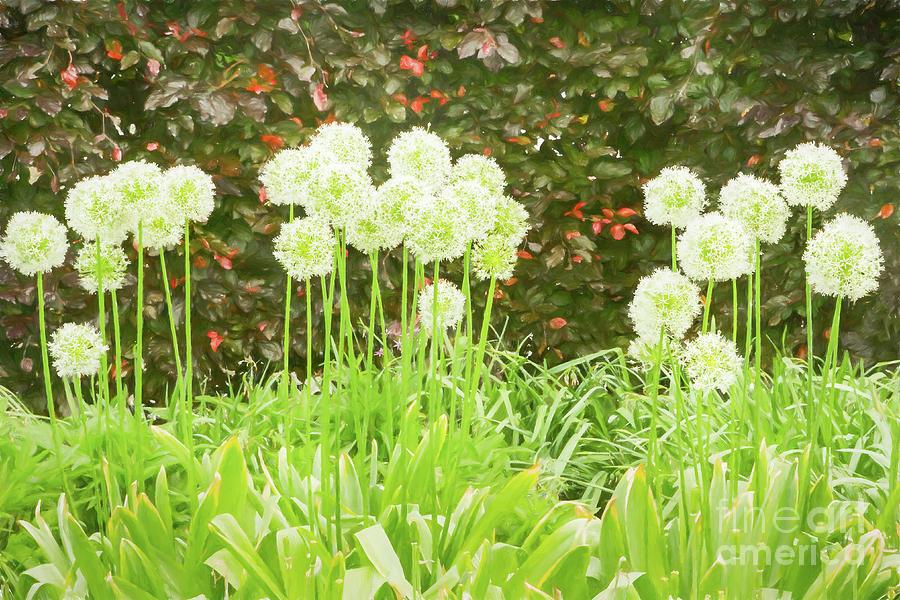 Allium Photograph - Snow White by Marilyn Cornwell