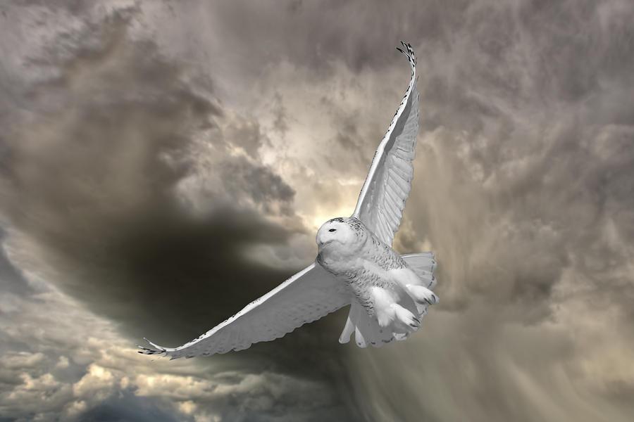 Snowy Owl In Flight Digital Art By Mark Duffy