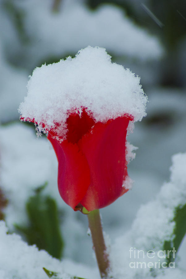 Tulip Photograph - Snowy Red Riding Hood by Louise Magno