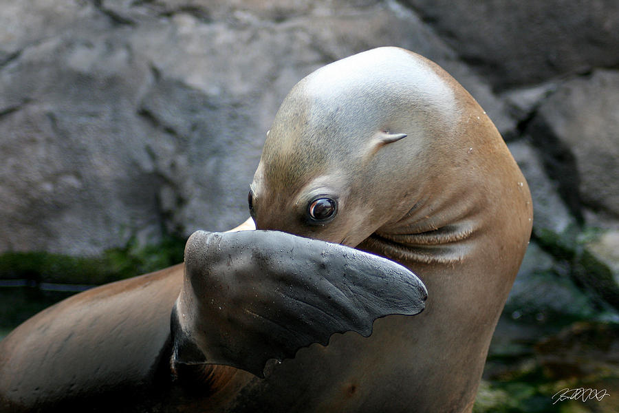 Sea Lion Photograph - Somebody Pooted by Jason Blalock