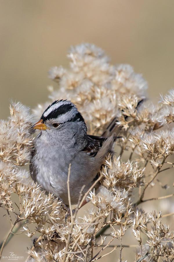 Bird Photograph - Sparrow by Ron Woodbury