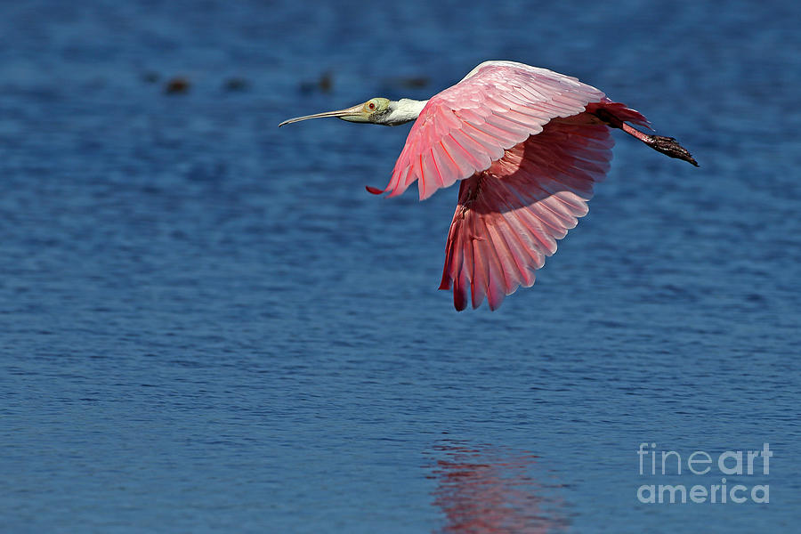 Bird Photograph - Spoonbill in Flight by Rick Mann