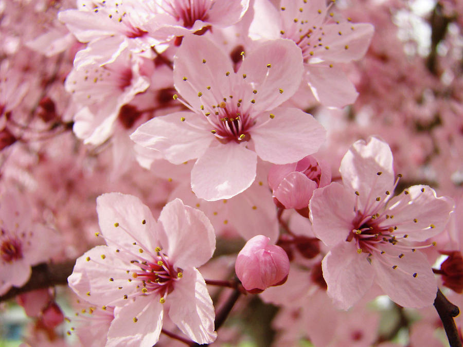 Spring Floral Pink Tree Blossoms Art Prints Baslee Troutman