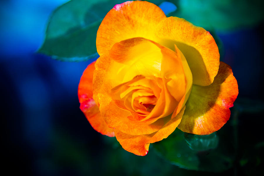 Spring Photograph - Spring Rose by Barry Jones