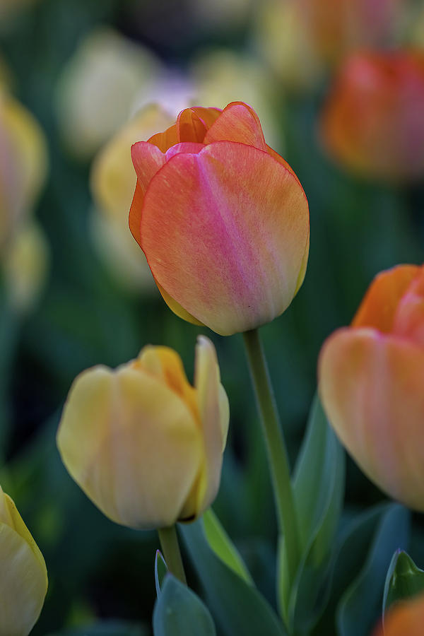 Spring Tulip by Ron Pate