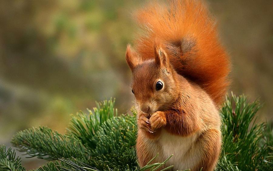 Squirrel Digital Art - Squirrel by Dorothy Binder