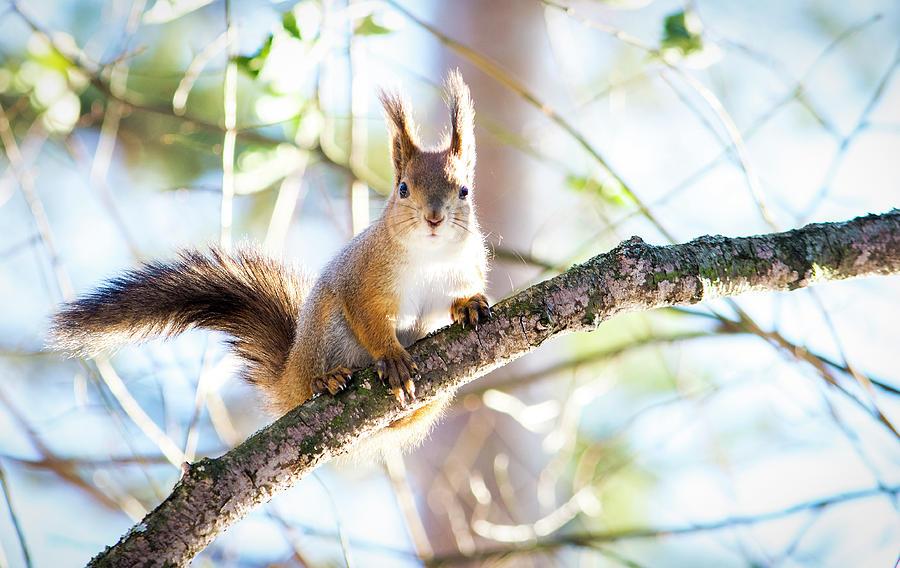 Squirrel Photograph - Squirrel by Konstantin Bibikov