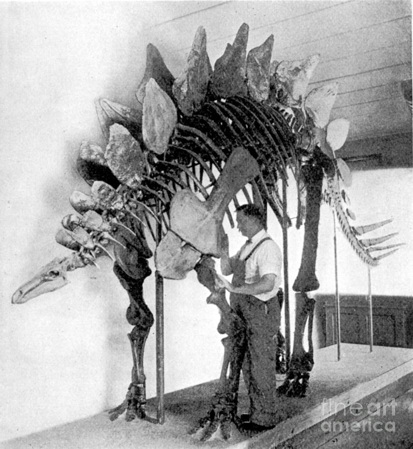 Dinosaur Photograph - Stegosaurus by Science Source