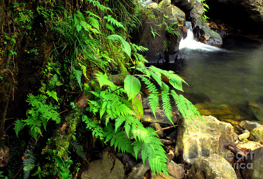 Puerto Rico Photograph - Stream El Yunque National Forest by Thomas R Fletcher