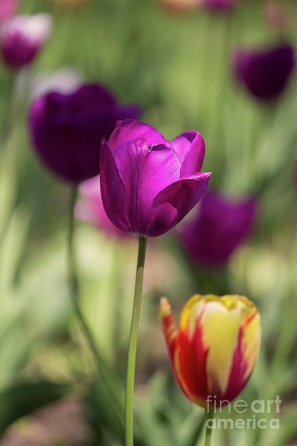 Study Of Tulips Photograph