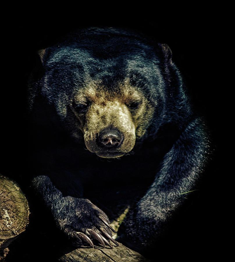 Bear Photograph - Sun Bear by Martin Newman
