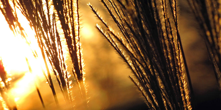 Panoramic Photograph - Sun Grass Wind by Amy Tyler