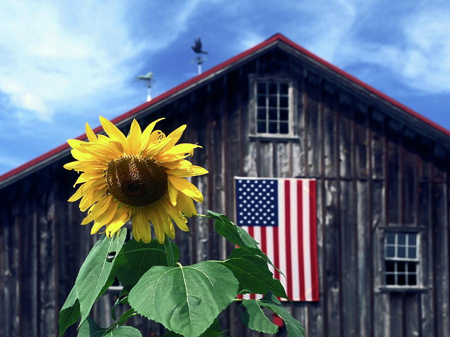 sunflower by barn photograph by sally weigand