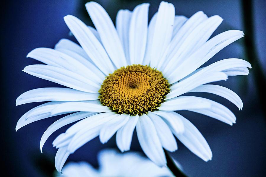 Sunflower/coneflower Photograph