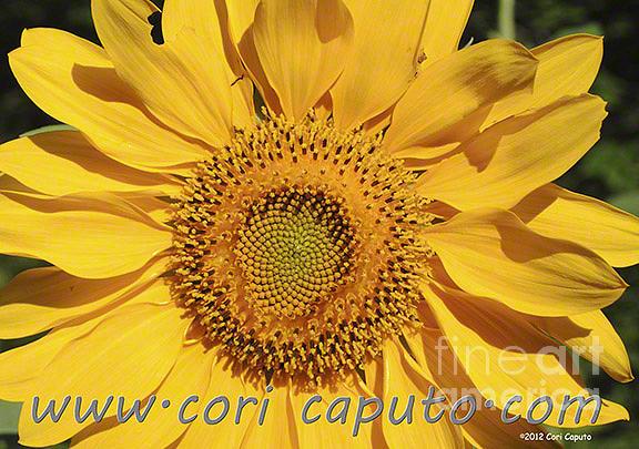 Sunflower Photograph by Cori Caputo
