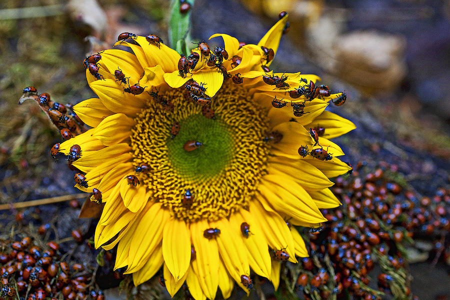 Sunflower Photograph - Sunflower Covered In Ladybugs by Garry Gay