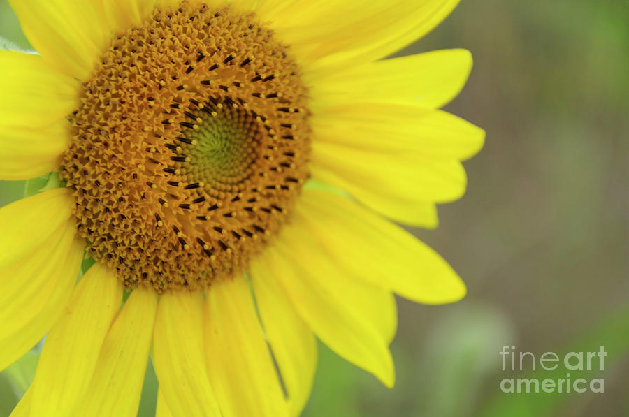 Bee Photograph - Sunflower by Debra Fedchin
