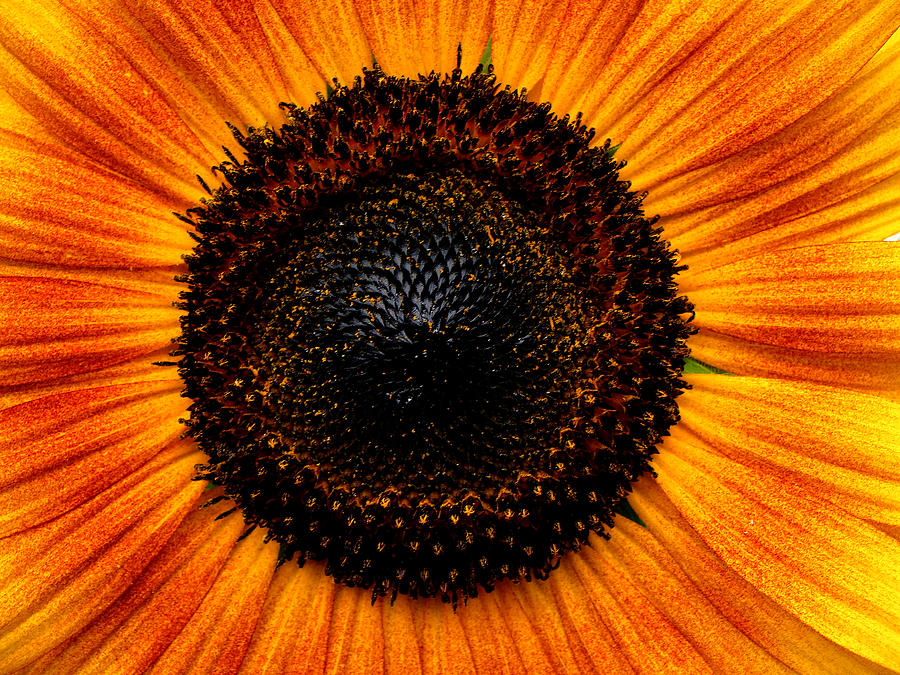 Floral Photograph - Sunflower by Martin Morehead