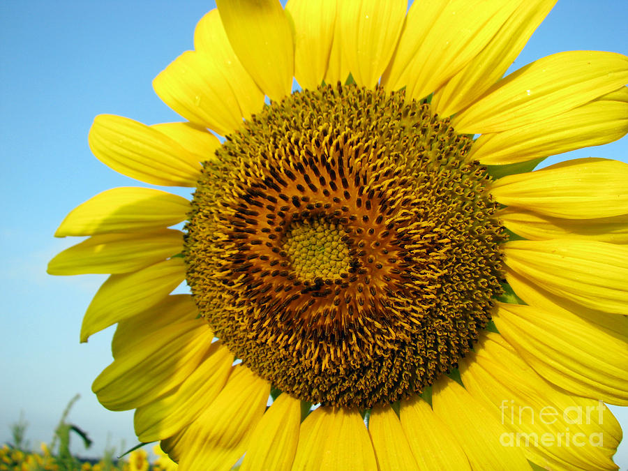 Sunflower Series Photograph