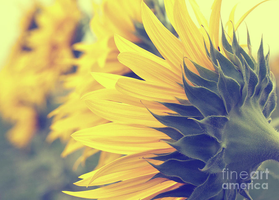 Sunflower Photograph - Sunflowers by Pam  Holdsworth