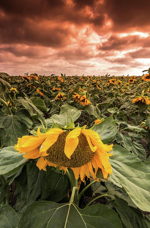Israel Photograph - Sunflowers by Yatir Nitzany
