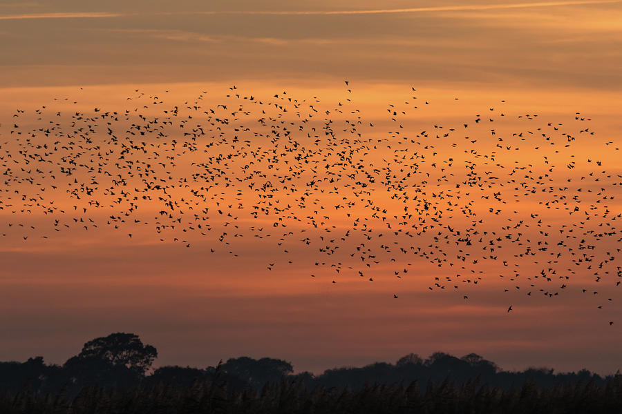 Sunset Starlings  by Wendy Cooper