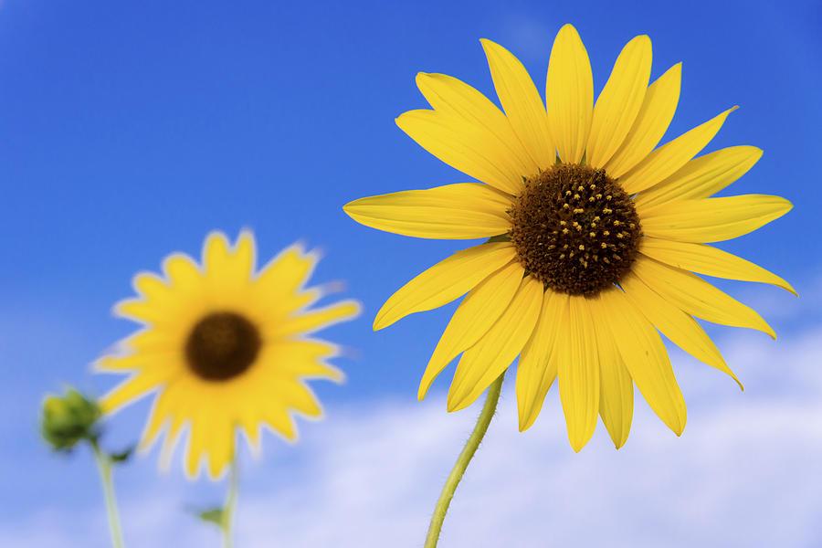 Sunflower Photograph - Sunshine by Chad Dutson