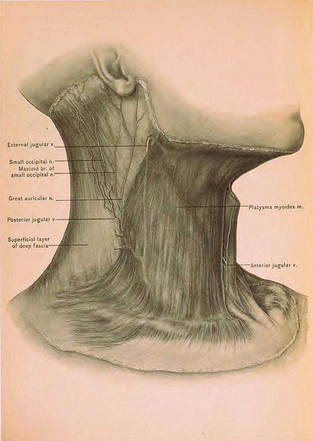 Surgical Anatomy Of The Head And Neck Drawing by FL collection