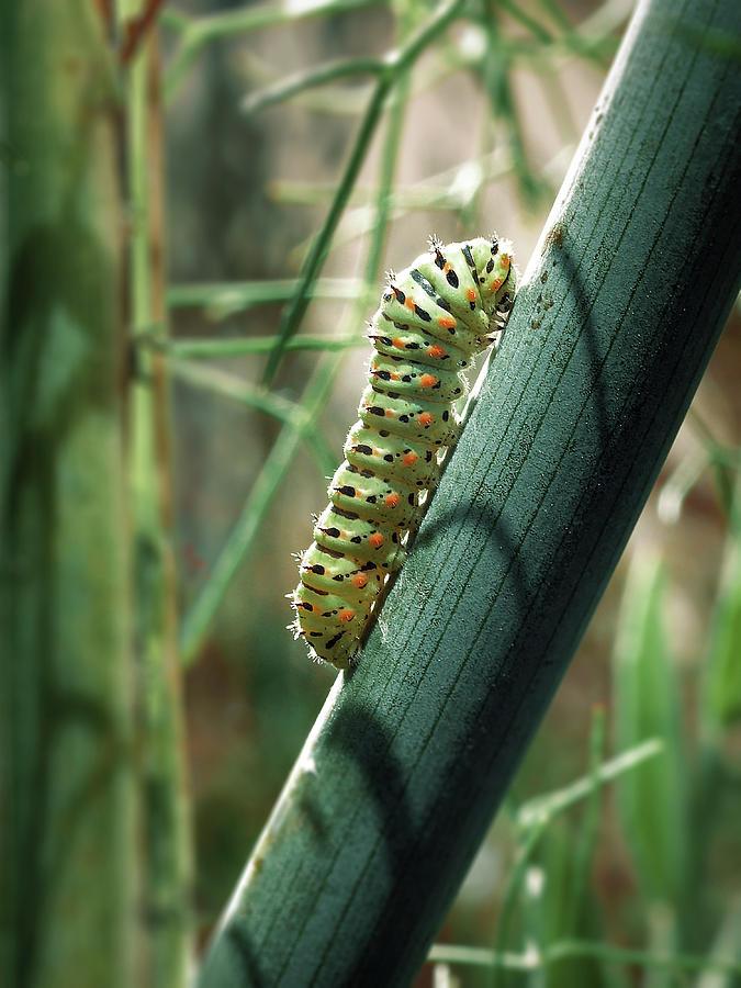Swallowtail Caterpillar Photograph