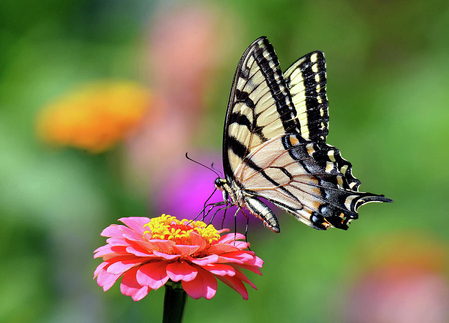 Swallowtail on a Zinnia by Rodney Campbell
