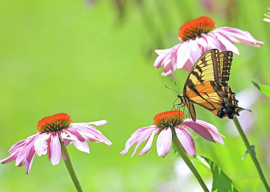 Swallowtail on Coneflower by PJQandFriends Photography